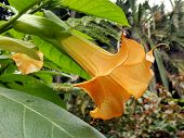 picture of angel-trumpet  - Close up of the Brugmansia flower - JPG
