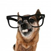 stock photo of buck teeth  - a chihuahua with glasses on and buck teeth - JPG