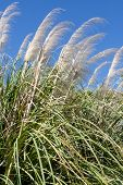 pic of pampas grass  - Pampas grass reaching for the deep blue sky - JPG
