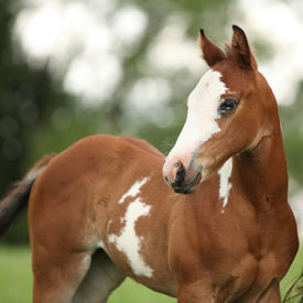 foto of fillies  - Portrait of nice Paint horse filly with blue eye in summer - JPG