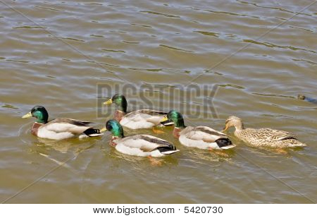 Five Mallards In Lake