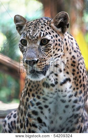 Portrait of leopard  is looking away to see something in the distance.