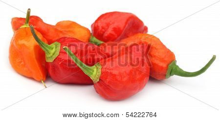 Bhut Jolokia Chili Pepper