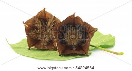 Devils Cotton With Green Leaf