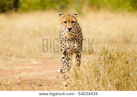 Cheetah Walking, South Africa, Kruger National Park