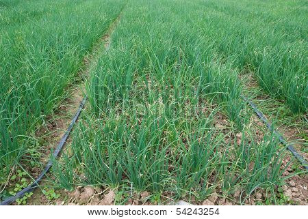 Rows Of Planted Spring Onion