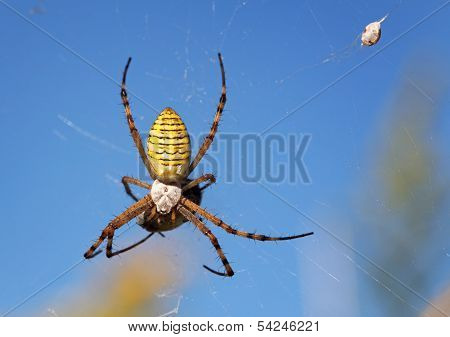 European White - Yellow Spider With Blue Background ( Argiope Bruennichi )