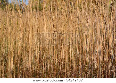 Sunlit marshland reed field