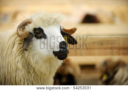 Sheep In A Farm