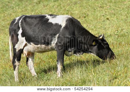 Holstein Cow Grazing On Meadow