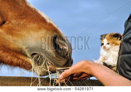 Farmer And Kitten Feed Horse