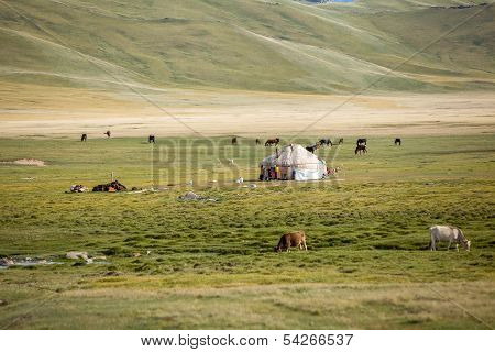 Farm animals pasturing near yurt