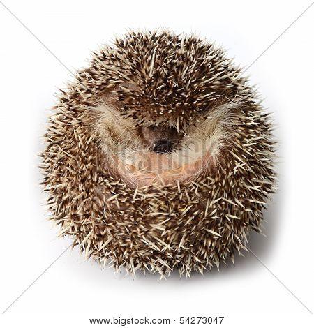 Hedgehog Act Like A Ball On White Background