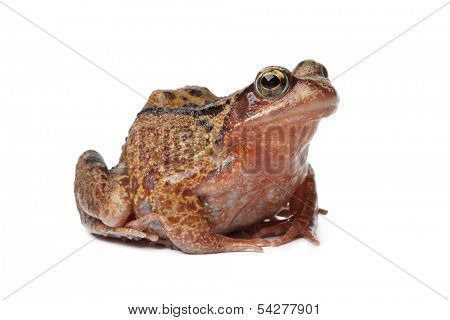 Single brown frog on white background