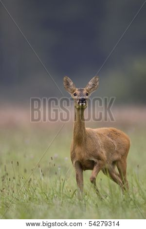 Roe-deer in the wild