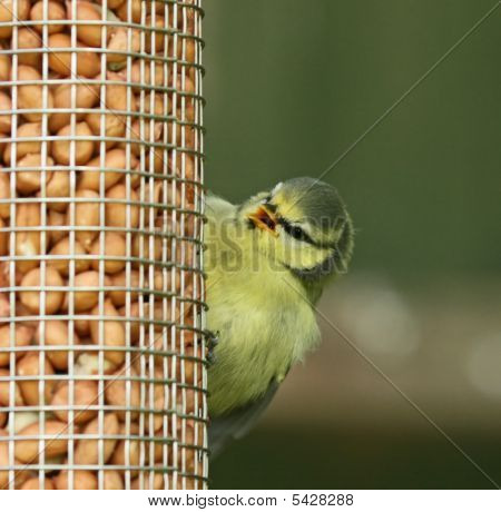 Blue Tit Fledgling Peeping