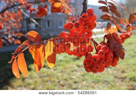 Branch of mountain ash