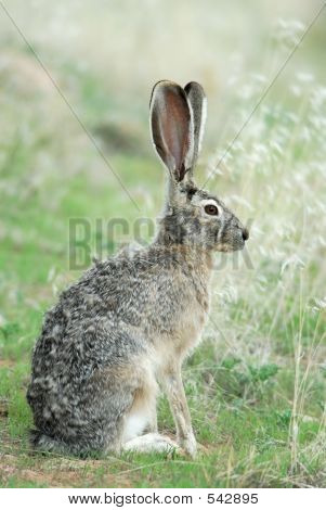 Blacktailed Jack Rabbit