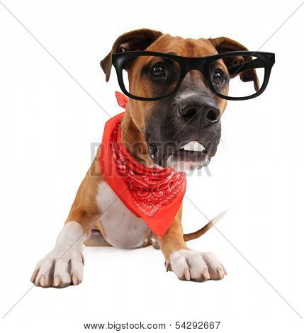 a cute pit bull boxer mix with black glasses on