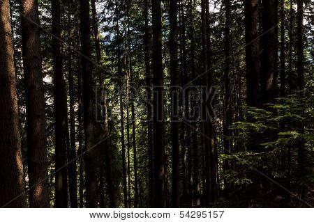Pine forest with large trees