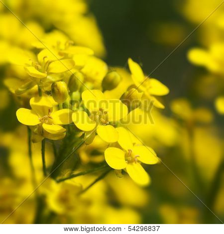 Canola, Rape Flowers Close Up