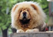 White Chow-chow Dog