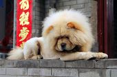 image of chow  - chow lying on the street on the background chinese characters - JPG