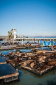 stock photo of sea lion  - Sea lions at Pier 39 San Francisco USA california on fishermans wharf