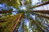 stock photo of sequoia-trees  - Sequoias in California view from below at Mariposa Grove of Yosemite USA - JPG