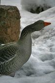 foto of snow goose  - Greylag Goose from side - JPG