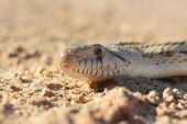 stock photo of harmless snakes  - Macro of Gophersnake that was sunning on a desert road - JPG