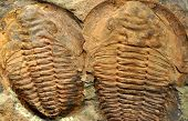 stock photo of prehistoric animal  - detail on two old fossilized trilobites - JPG