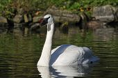 pic of trumpeter swan  - Trumpeter Swan - Cygnus buccinator