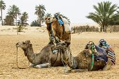 stock photo of sahara desert  - Camel Caravan in the Sahara desert Tunisia Africa - JPG