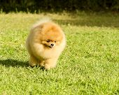 stock photo of pomeranian  - A small young beautiful fluffy orange pomeranian puppy dog walking on the grass - JPG