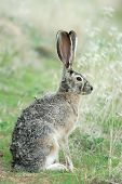 foto of blacktail  - a wild blacktailed jack rabbits sits quietly in the grass - JPG