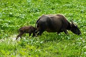 foto of female buffalo  - Buffalo is a small suckling mother buffalo.