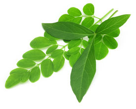 picture of malunggay  - Medicinal vitex negundo with moringa leaves over white background - JPG