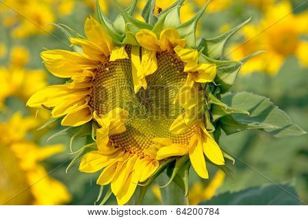 Florescent  sunflower