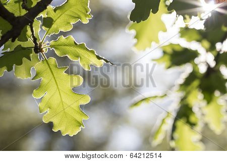 Oak Leaves In The Morning