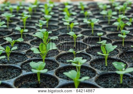 Young Seedlings  In Tray.