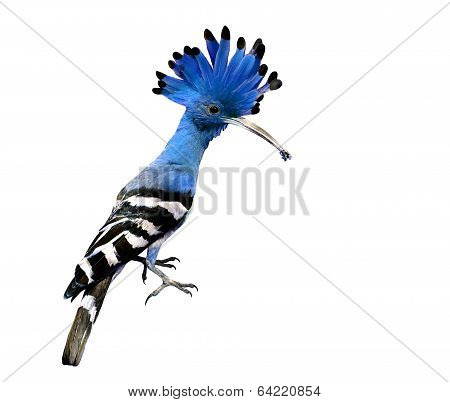 Lovely Blue Crested And Spiky Hair Bird Isolated On White Background