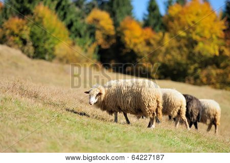Sheep On A Field