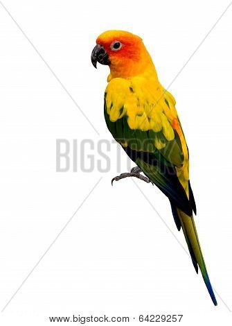 Beautiful Yellow Parrot Bird, Great Sun Conure, Isolated On White Background