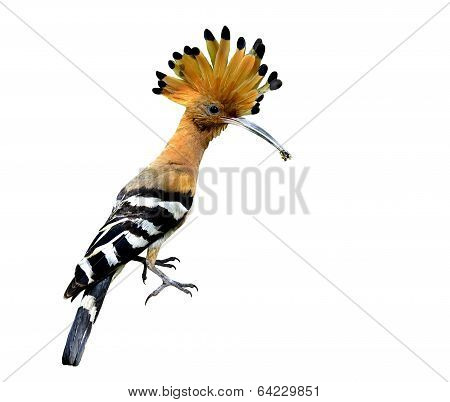 Common Or Eurasian Hoopoe, The Lovely Crested And Spiky Hair Bird Isolated On White Background