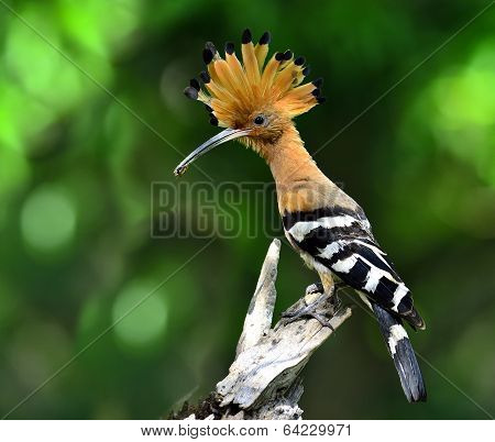 Common Or Eurasian Hoopoe, The Lovely Crested And Spiky Hair Bird Carrying Food For Its Chicks In Th