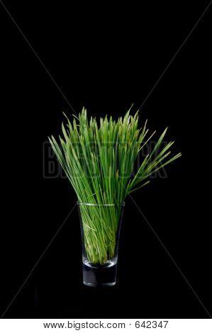 Pasto de trigo crudo