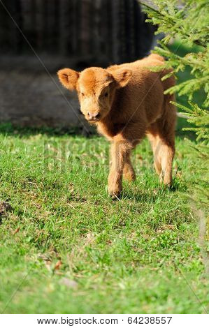 Bull, Scottish Highland Cattle