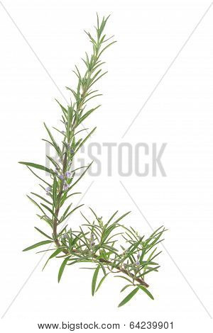 Blossoming branch of rosemary (Rosmarinus officinalis)