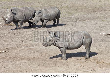 Three White Rhinoceros Or Square-lipped Rhinoceros (ceratotherium Simum)
